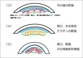 ケラチンの膨張と収縮2